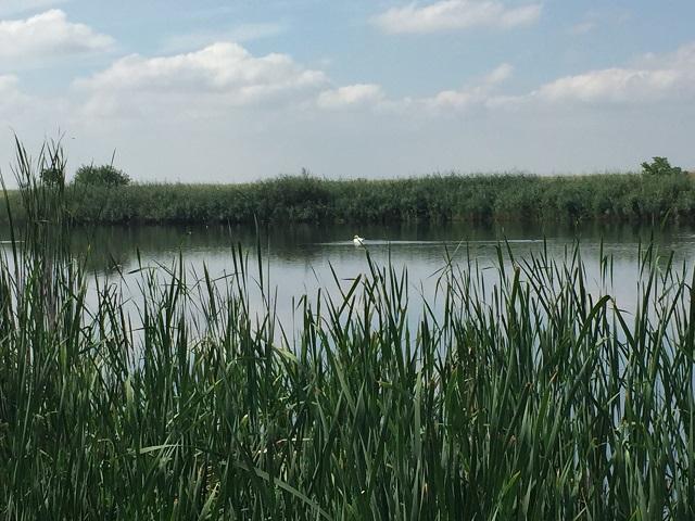 lebeda alba pe lac unavia